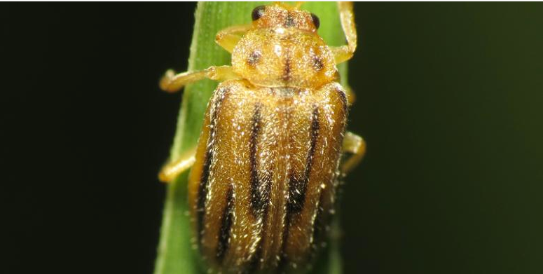 How this tiny beetle could help millions of allergy sufferers